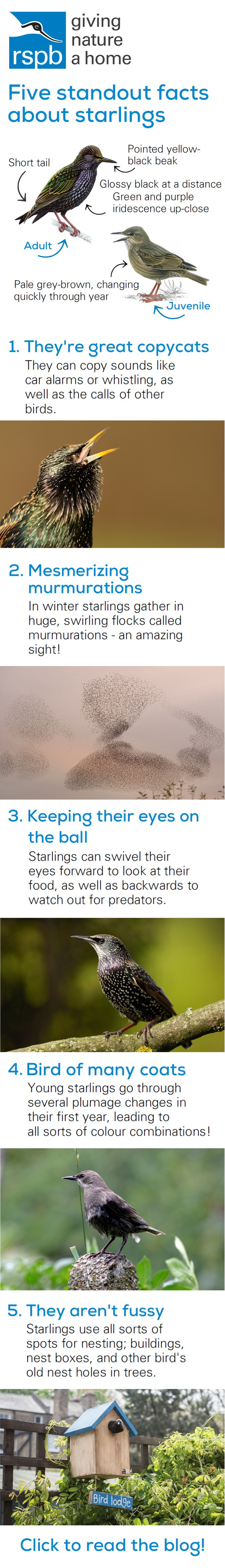 Five facts you need to know about starlings! Click the pin to find out more.  Birds, nature, UK, starlings, RSPB, beautiful, photography, art, colourful, illustration, wings, colour, animals, gardens spring, summer, pictures, trees, branches