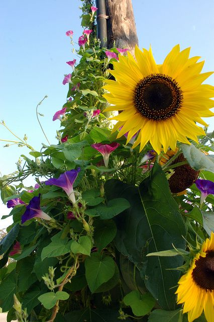 Sunflowers and Morning Glory......east yard.  Been thinking about this three years, do it this summer!