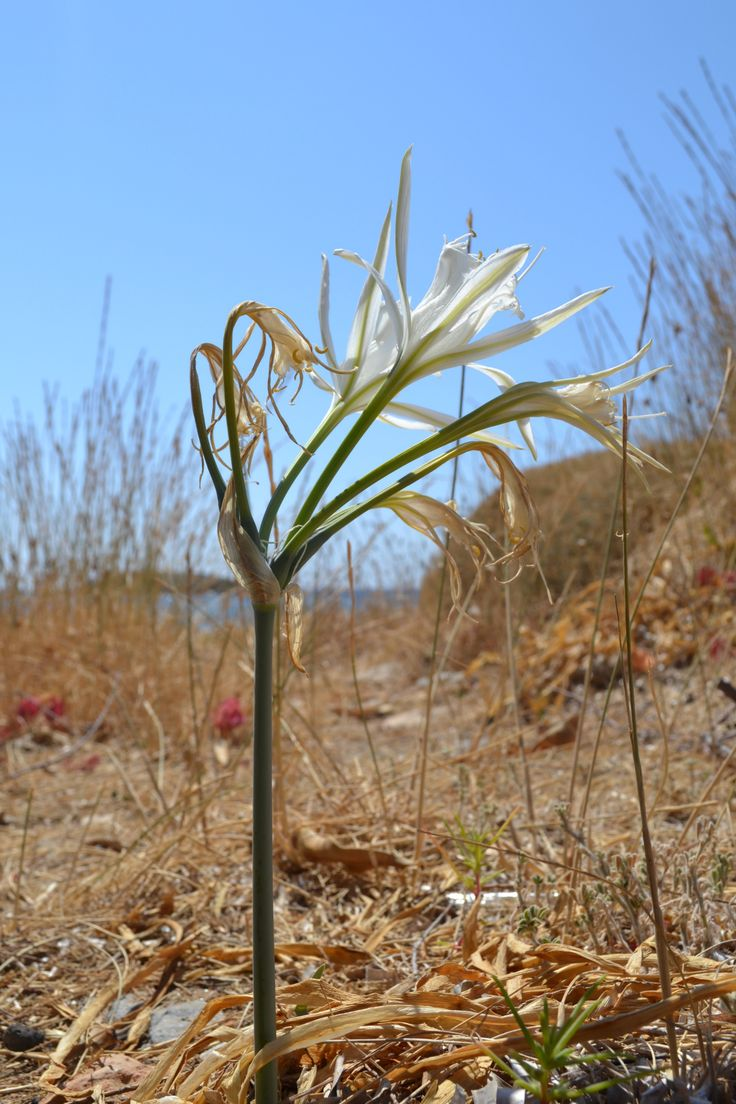 Sea daffodil (pancratium maritimum) on the seashore