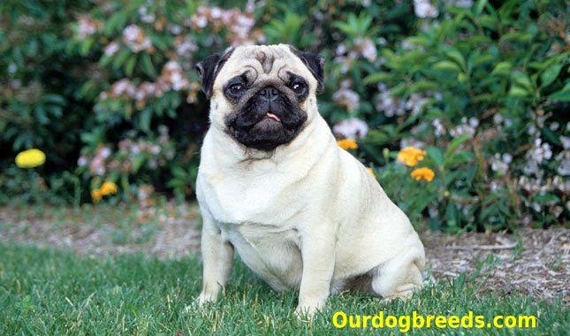 Pug Dog Breeds Pug Puppies Pugs Dogs