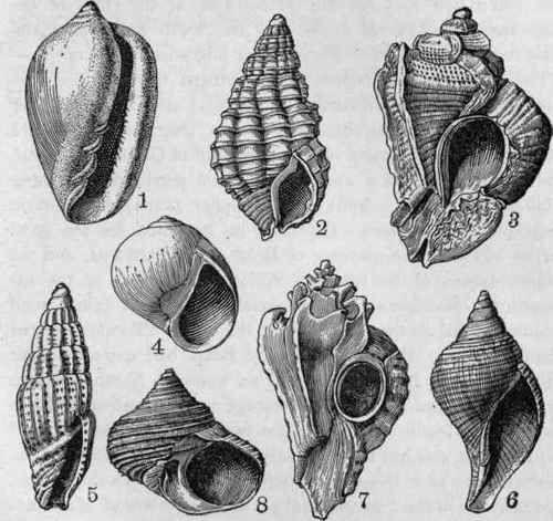 Plate XVII. - Tertiary Fossils from Florida. Fig. 1, Marginella aurora, x 3/4, Miocene. 2, Nassa bidentata, x 3/4, Miocene and Pliocene. 3, Purpura conradi, x 2/3, Miocene. 4, Natica floridana, X 1/2, Miocene. 5, Mitra wilcoxi, x 1/2, Miocene. 6, Fasciolaria tulipa, x 1/2, Pliocene. 7, Typhis floridana, Pliocene. 8, Turbo rectogrammicus, x 1/2, Pliocene. (After Dall).