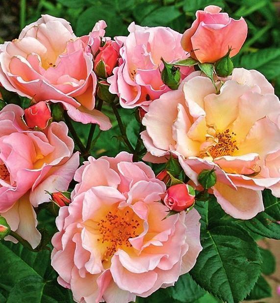 Роза Scented Whisper