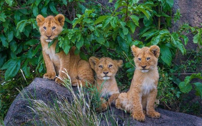 Big Cats Cubs Wallpaper