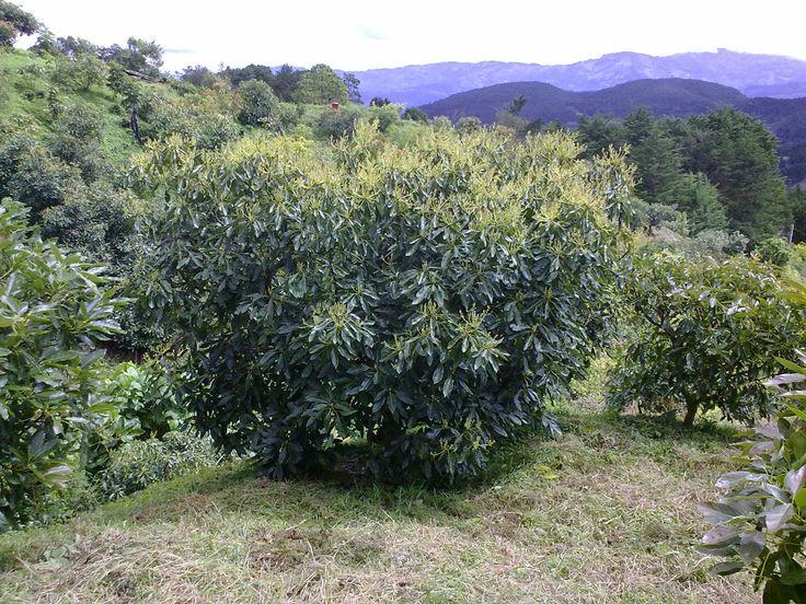 Ing. Luis Mauricio Jiménez Rivera. MGAA: Floración del Arbol de Aguacate.