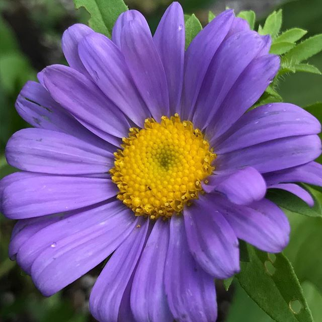 I can 39 t get over this color chinaaster aster for What colour roses can you get