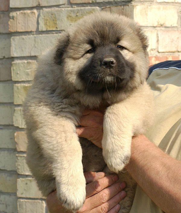 Caucasian shepherd puppy.