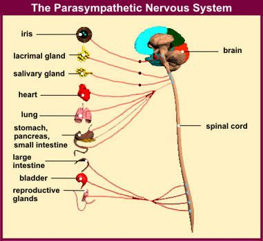 The Parasympathetic Nervous System regulates vital bodily functions of digestion, reproduction, & circulation through Vagus nerve stimulus.  Stress  switches the body into the Sympathetic Nervous System, resulting in an interference of all those functions. Chronic stress has a serious impact on those functions.  Deep Breathing techniques help to switch and restore our bodies to the previous Vagus nerve dominant state.