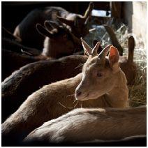 Chevreaux dans une chèvrerie © Xavier Remongin/Min.agri.fr