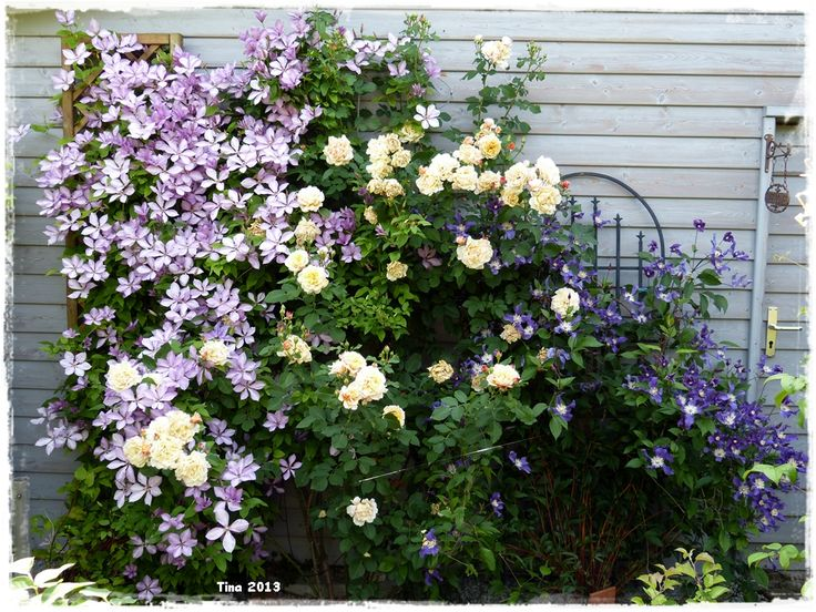 Clematis Margeret Hunt, clematis Blue Pirouette & Rosa Caramella >3
