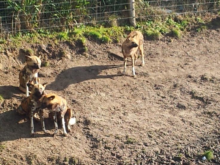 Afrikaanse wilde honden. In Zoo Parc Overloon