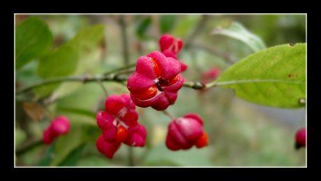 Salba moale (Euonymus europaeus) este un arbust din familia Celastraceae, nativ din Europa. Face parte din cele trei specii ale acestei familii (din cele aproximativ 100) native din climatul temperat, restul fiind plante de climat tropical și subtropical...