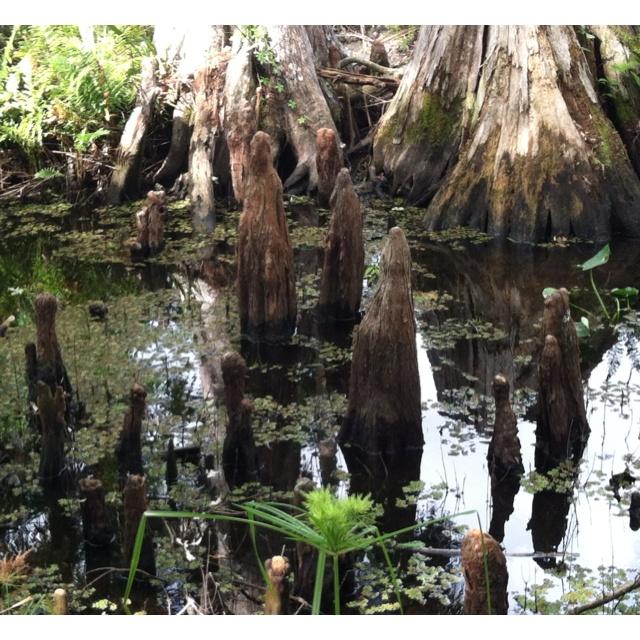 Cypress knees - Riverbend park , Jupiter Fl