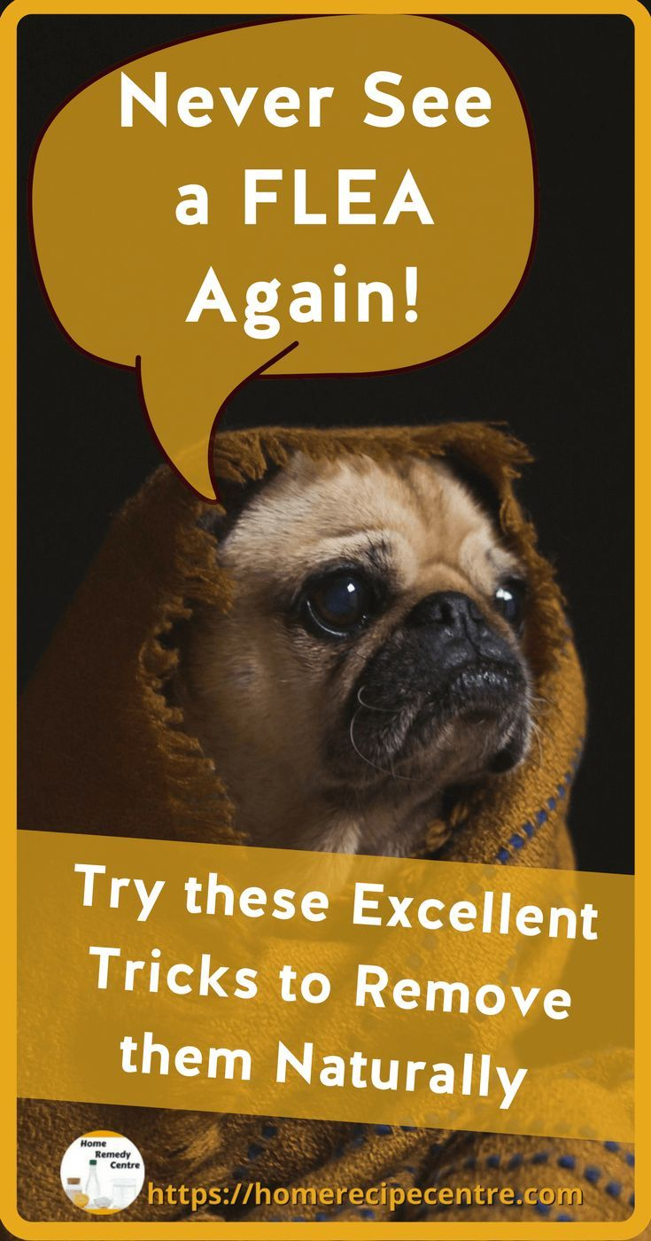 We have brilliant recipes for flea remedies for dogs and also flea remedies for house. Get rid of Fleas now!  #dogs #pets #fleas