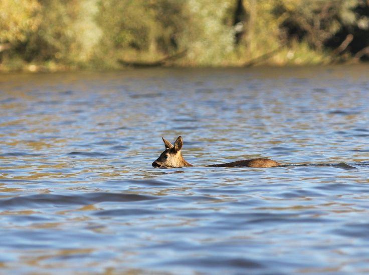 Reeën kunnen geweldig zwemmen. Zo kun je nog eens makkelijk het Gat van de Vloeien oversteken in de Brabantse Biesbosch.