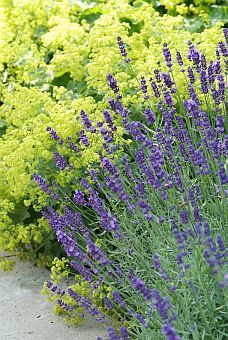 Lavendel met vrouwenmantel, this looks like my old garden, oh I miss these plants!