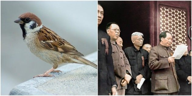In 1958 Mao Zedong ordered all the sparrows to be killed because they ate too much grain