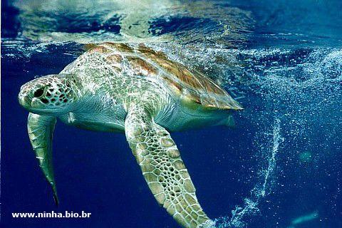 tartaruga marinha próxima à superfície da água