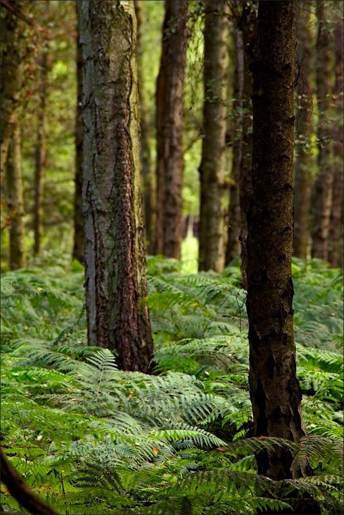 Fern covered forest - Ashridge, Hertfordshire, England by meniscuslens
