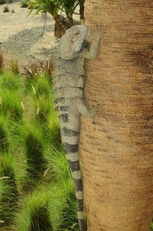 Marriott's Aruba Ocean Club: Iguana
