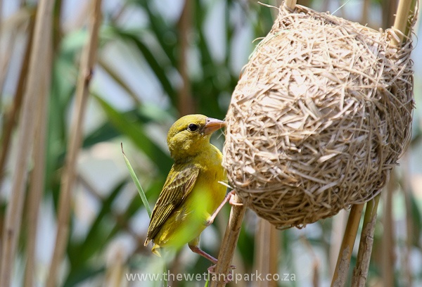 Yellow African Weaver bird puts the finishing touches to her nest in Hluhluwe, South Africa