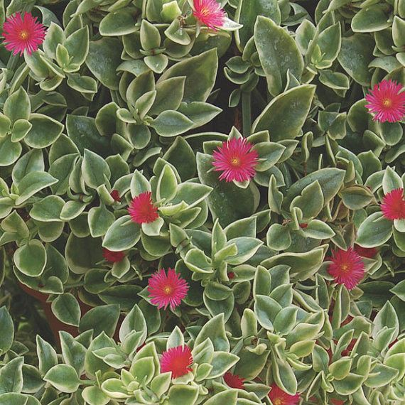 Dorotheanthus bellidiformis Mezoo Trailing Red - The BEST plant for hanging baskets!
