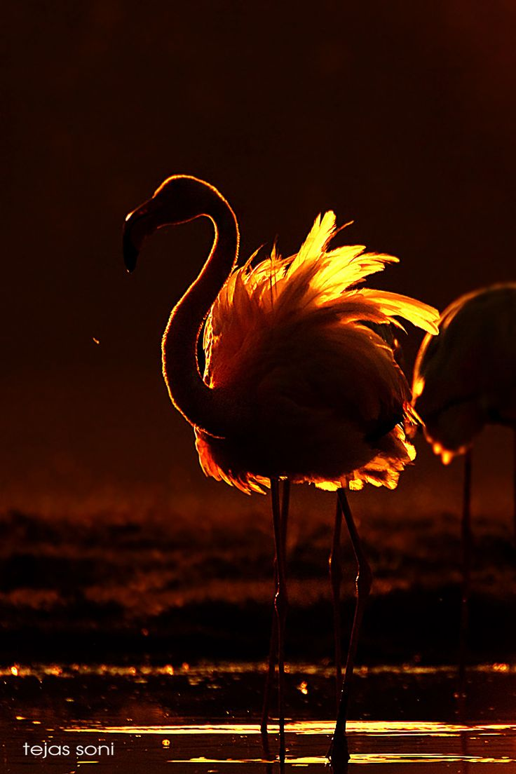 greater flames - greaterflamingo ,gujarat,india