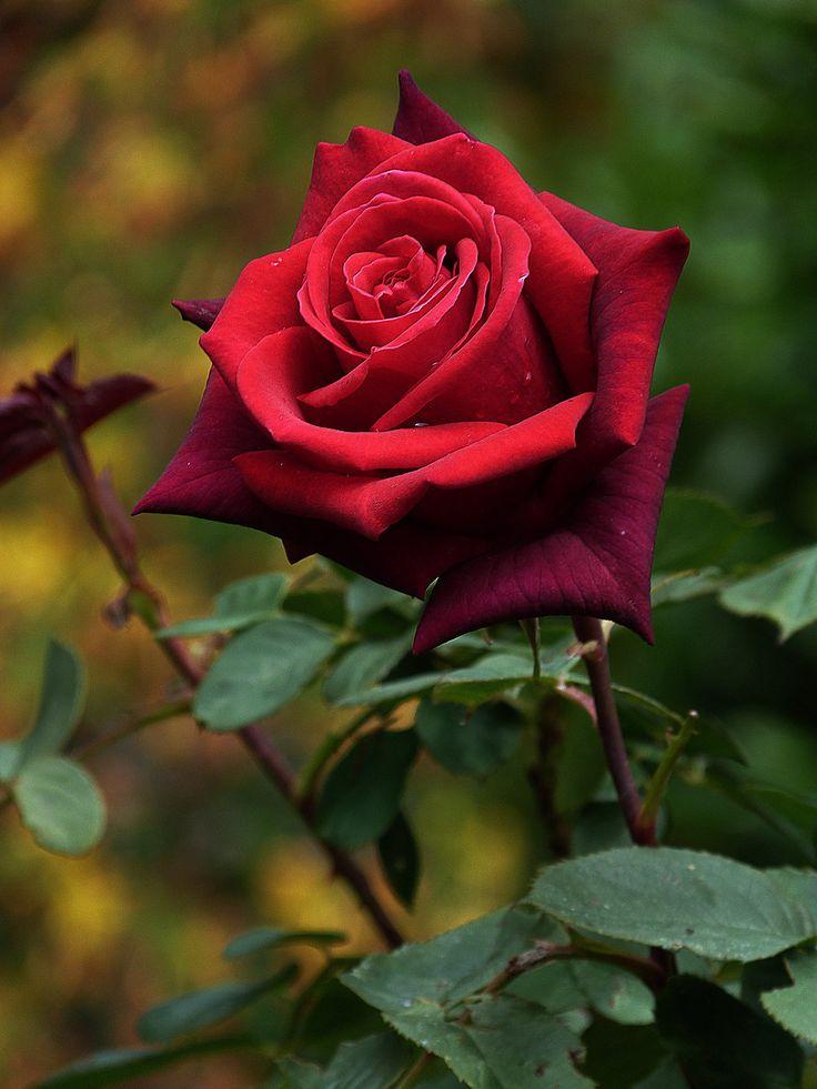 red rose pesquisa google roses garden pinterest. Black Bedroom Furniture Sets. Home Design Ideas
