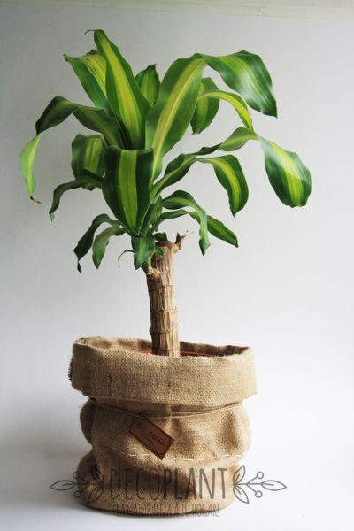 El conocido Palo de Agua o Tronco de Brasil, es una planta tropical de hojas perennes, de uso decorativo tanto para interiores como para exteriores.  RIEGO: Sólo lo justo para  mantener el suelo húmedo, sin llegar a formar charcos, de lo contrario su follaje perderá brillo.  LUZ: Lugar iluminado , pero no a sol directo