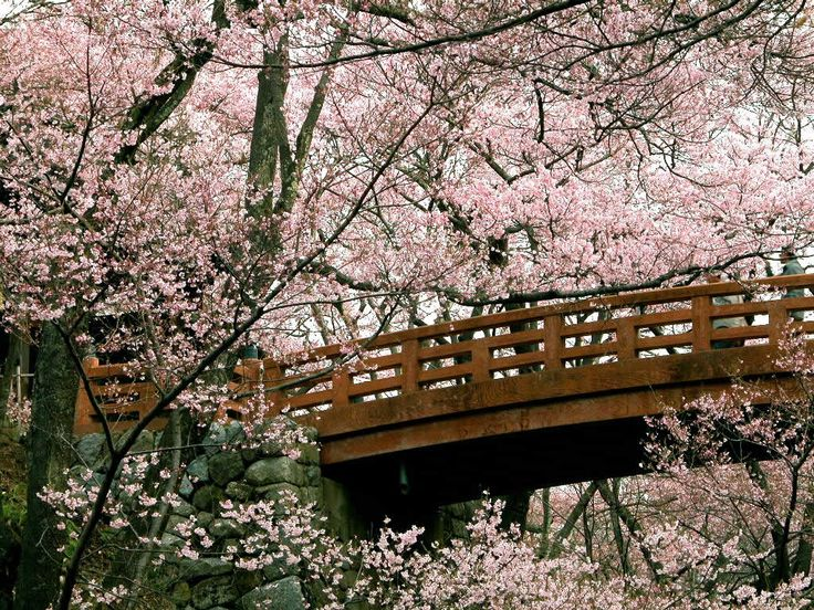 you can try hanami the ancient japanese art of viewing cherry blossoms - Japanese Garden Cherry Blossom Bridge
