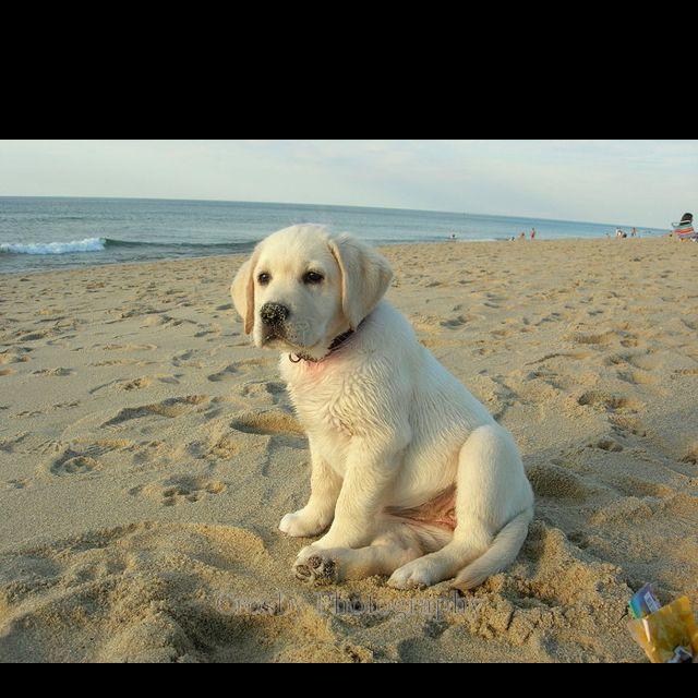 yellow lab dog - photo #19
