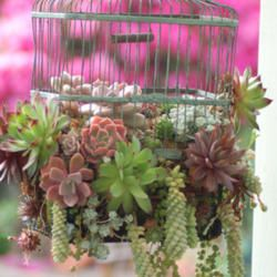 Succulents in a birdcage - just put one like this together.  Came out ok, needs to grow a little and fill in.