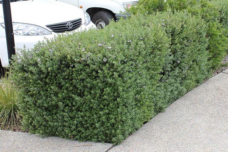 Naringa Westringia Medium Hedging plant