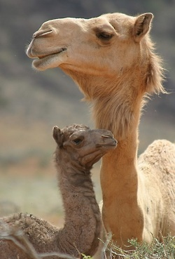 Mother and baby camel..