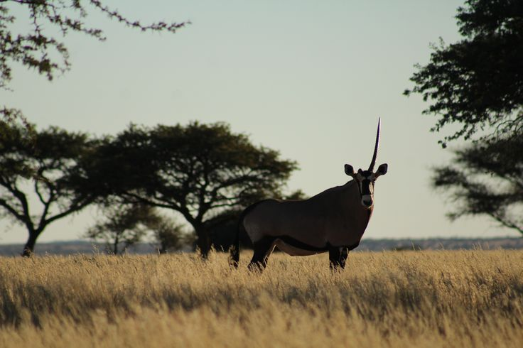 The one-horned gemsbok of Benfontein
