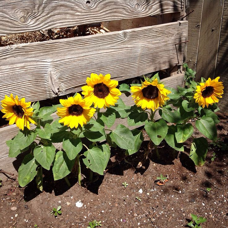 Love These Dwarf Sunflowers Along The Garden Bin They Were So Easy To Grow