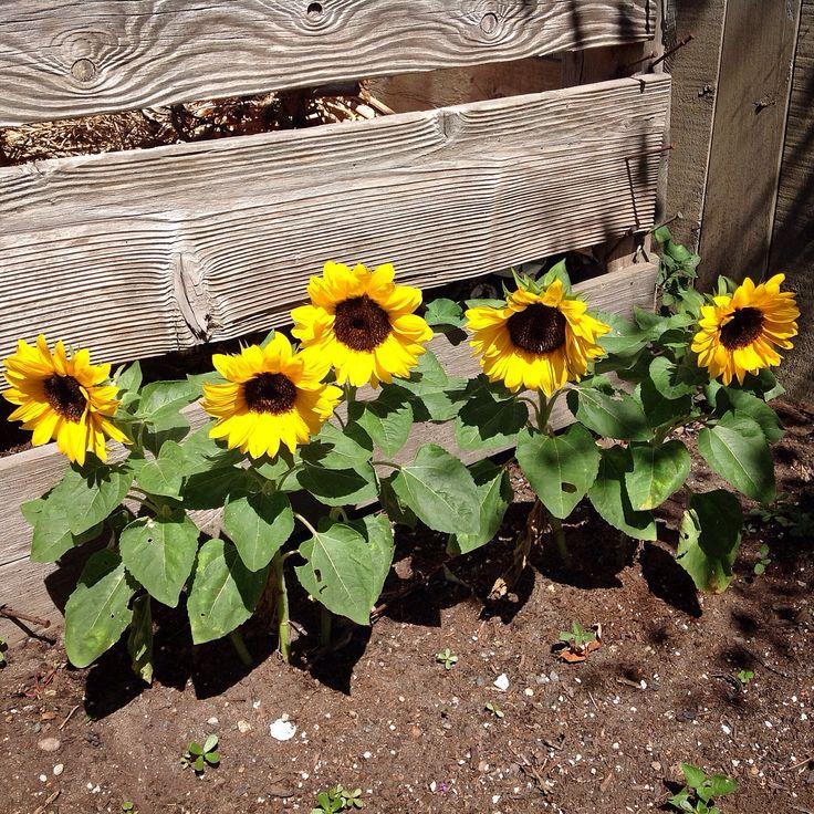 Sunflower Garden Ideas planting sunflowers in your garden Love These Dwarf Sunflowers Along The Garden Bin They Were So Easy To Grow