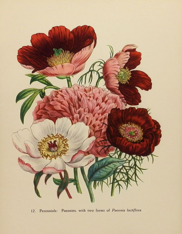 Vintage Flower Print, 1948 Peony Peonies, English Countryside, Victorian Botanical Artist Illustration (Book Plate No. 12 To Frame). $8.00, via Etsy.