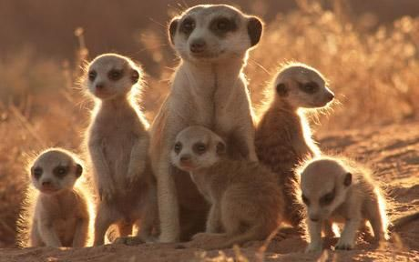 Meerkats 'pass on traditions' - Telegraph