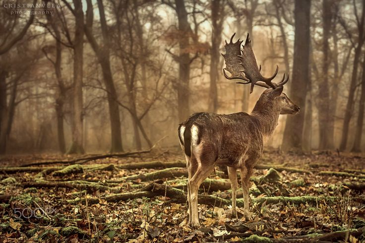 Fallow Deer - Fallow Deer in the autumn and misty Blackforest of Germany  #autumn #badenwürttemberg   #black #forest #blackforest #deer #fall #fallow #forest #germany #schwarzwald #wildlife #woods