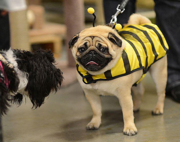 best 25 pug halloween costumes ideas on pinterest pug costume pugs and pug - Pugs Halloween Costumes