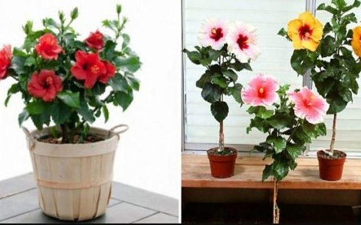 Îngrijirea tuturor florilor, dar în special a trandafirului japonez: trucuri pentru o înflorire bogată și o menținere bună