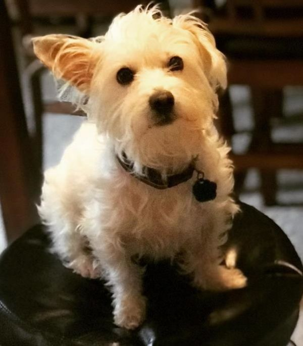 Bobby Adoptable Dog Young Male Maltese Cairn Terrier Mix Dog Adoption Terrier Mix Cairn Terrier Mix