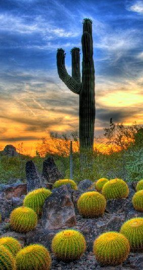 Desert Botanical Garden, Phoenix, Arizona. If you have not visited this garden, while visiting Phoenix, you are missing a treat! #arizona
