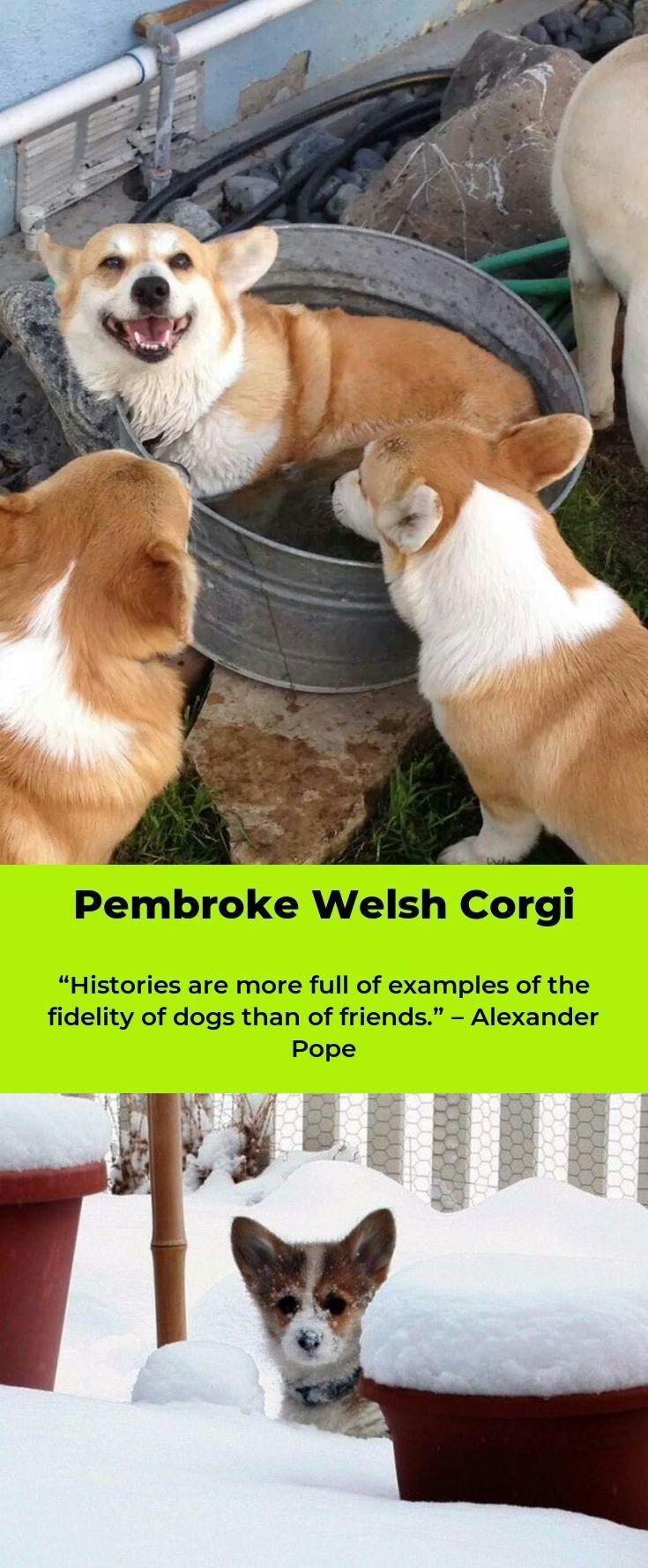 Pembroke Welsh Corgi Alert And Affectionate With Images Corgi