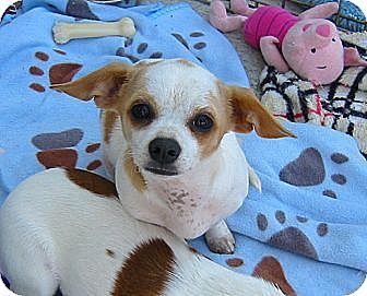 Adopt Annie, young Chihuahua/Jack Russell Terrier Mix in Acworth, GA. One and a half years old, sweet shy loving girl, good with dogs, good with kids, good with cats, spayed, housetrained, will make a wonderful companion. Being taught to walk on the leash.