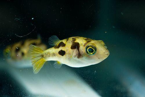 195 best images about nano aquarium fish on pinterest for Dwarf puffer fish