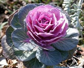 Brassica: Decorative cabbage or kale.  Available in summer and fall seasons
