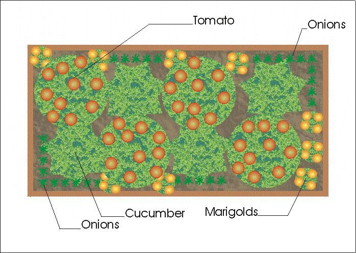 Companion planting in raised bed gardening pinterest for Vegetable planting layout