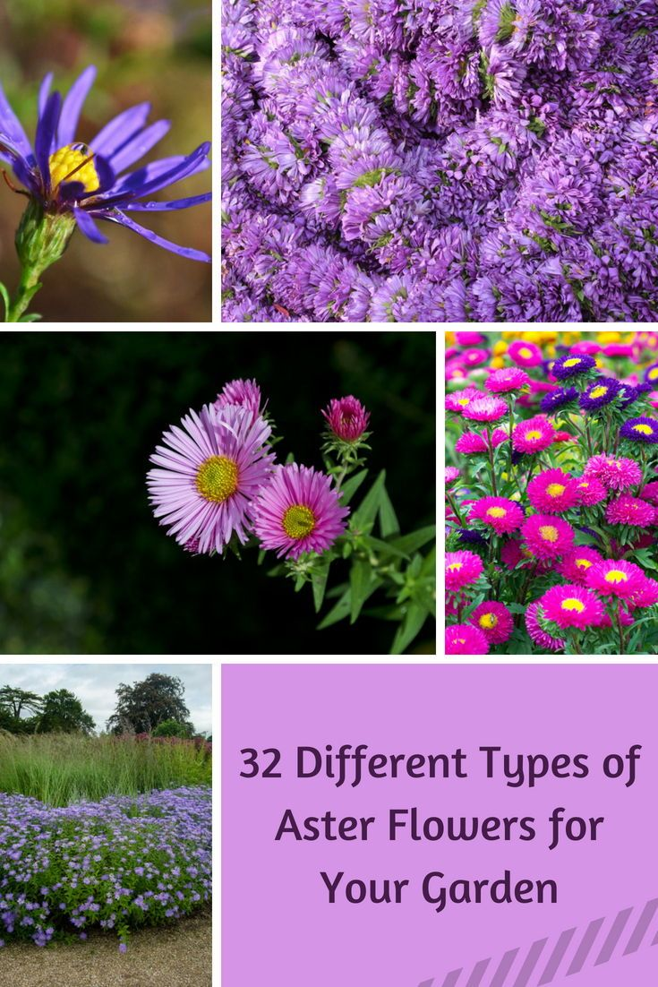 32 Different Types Of Aster Flowers For Your Garden Aster Flower Different Types Of Flowers Plants