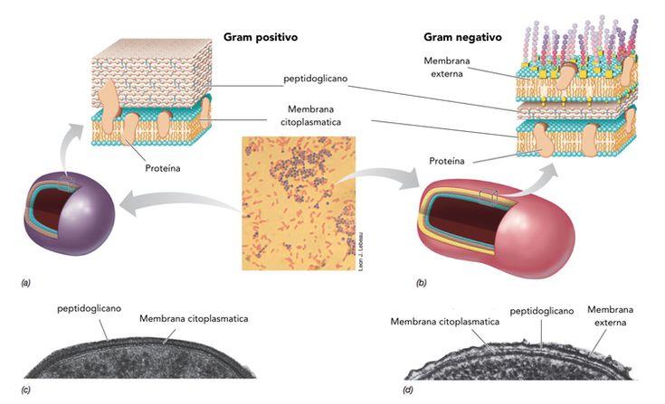Bacterias Gram positivas y Gram negativas. — Microbioenergética